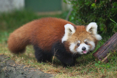Einstein reincarnated as a red panda…