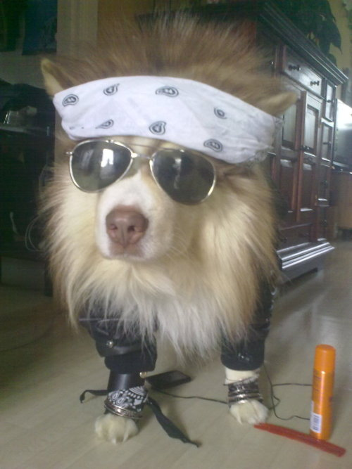 juliasegal:  The W. Axl Rose of dogs