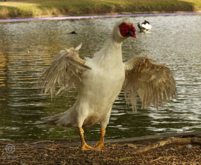 "Overheard On The Pond ""…and, like, then this Muscovy dude is all puffed-up in my face like he owns the pond. And I'm like, ""Chill duck. You best step-off"" and like, I get all gangsta' and flex my guns and strut, and he's like, so punked down, tail feathers all tucked in…total punchmuncher…"""