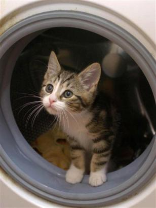 get out of there cat. you cannot be in a washing machine. when that door closes it will be very very wet and you will not like it at all because you are a cat.