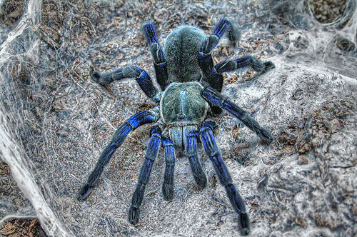 thelovelybunni:  I want one of these! Cobalt Tarantula ♥