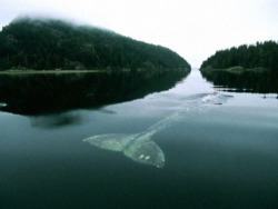 niick4:  treis-meres:  The Loneliest Whale in the World. In 2004, The New York Times wrote an article about the loneliest whale in the world. Scientists have been tracking her since 1992 and they discovered the problem: She isn't like any other baleen whale. Unlike all other whales, she doesn't have friends. She doesn't have a family. She doesn't belong to any tribe, pack or gang. She doesn't have a lover. She never had one. Her songs come in groups of two to six calls, lasting for five to six seconds each. But her voice is unlike any other baleen whale. It is unique—while the rest of her kind communicate between 12 and 25hz, she sings at 52hz. You see, that's precisely the problem. No other whales can hear her. Every one of her desperate calls to communicate remains unanswered. Each cry ignored. And, with every lonely song, she becomes sadder and more frustrated, her notes going deeper in despair as the years go by.  this is actually one of the saddest things ive read on here/ever