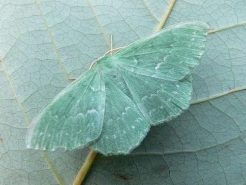 Large Emerald Moth