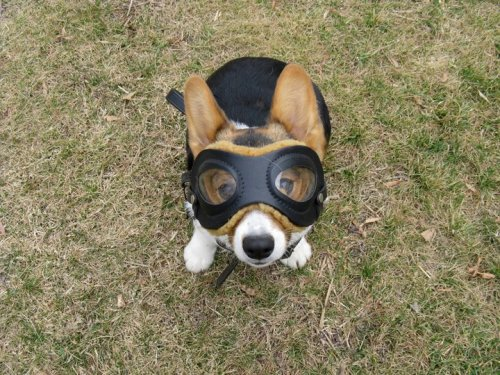 Corgi? check. Ridiculous goggles? Check. We are now ready for the cutest flight ever! (via TDC)