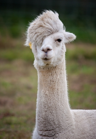 velvetsands:  Post-Punk Alpaca