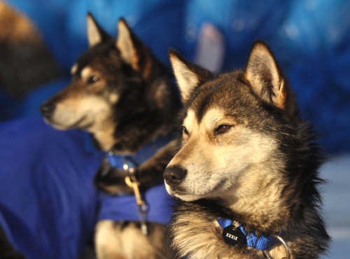 Willow, Alaska Iditarod musher Karin Hendrickson's  swing dog Aberdeen and leader Chase keep an eye on things at the Takotna  checkpoint during the 2011 Iditarod Trail Sled Dog Race, March 9, 2011.   (Bob Hallinen/Assoiated Press/The Anchorage Daily News)  (via Dog Sledding season - coming to a close - The Big Picture - Boston.com)