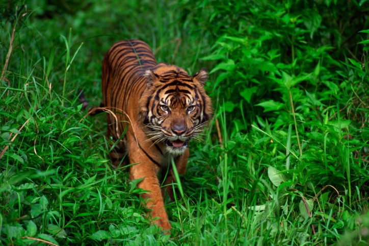 Sumatran Tiger Electrocuted To DeathAn official said on Friday that an endangered Sumatran tiger died  after brushing against an electric fence set up by Indonesian farmers. This is the second occurrence of a case like this since the beginning of this year. There  are less than 400 Sumatran tigers left in the wild and environmental  activists say that the animals are increasingly coming into contact with  people as a result of their natural habitat being lost due to  deforestation. Read more.