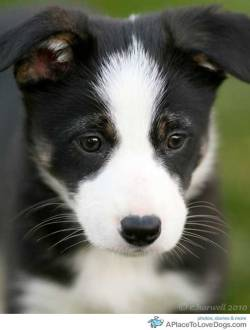 pinterest An adorable Border Collie. What are you thinking about little guy? Original Article