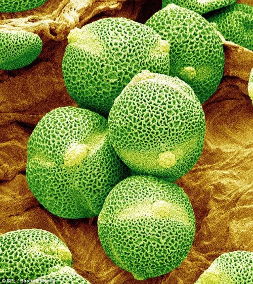 Cool: Believe it or not, cucumber pollen grains!