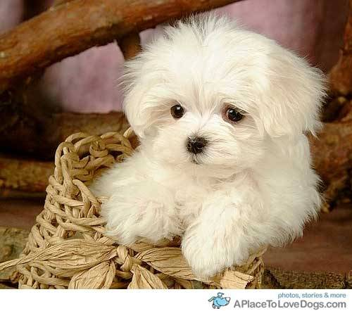 aplacetolovedogs:   pinterest Maltese in a basket, so cute you want to eat him up Original Article  i <3 my maltese! :D