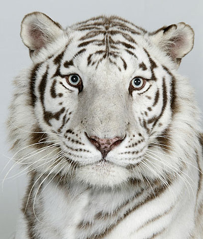 white tiger drawings t...