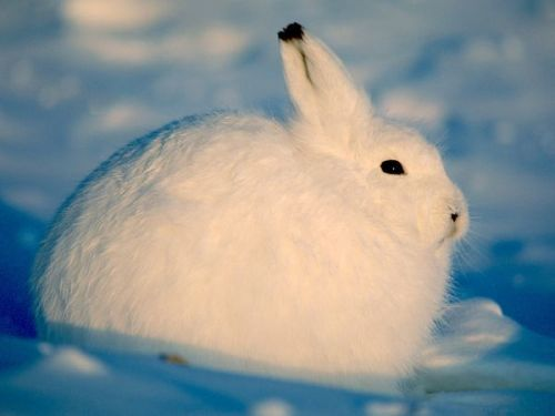 dothestarswithyou:  e-pic:    by Paul Nicklen  SNOWBALL BUNNY OMG
