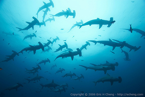 Shark-sharks Scalloped hammerhead sharks at Darwin, Galapagos (by echeng)
