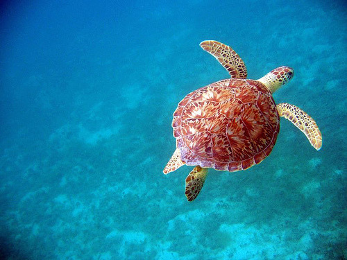 thebeautyofblue:  Hawksbill turtle (by digivangelist)