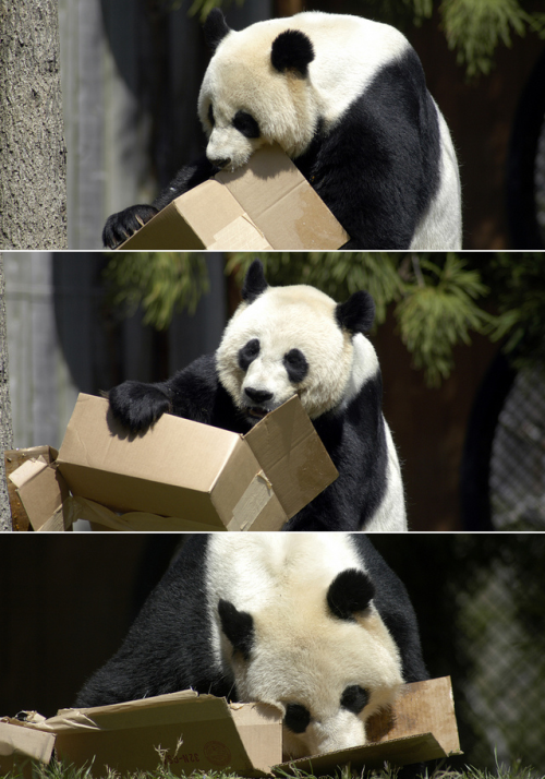 Mei Xiang, the female Giant Panda at Smithsonian's National Zoological Park in Washington D.C. Photos by Dan Dan the Binary Man.