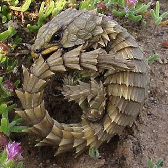 ARMADILLO GIRDLED LIZARD (Cordylus Cataphractus)  ©Trevor Hardaker The Armadillo Lizard is a lizard endemic to desert areas of southern Africa. The natural habitat of this lizard is scrub and rocky outcrops. It is diurnal. It hides in rock cracks and crevices. It lives in social groups of up to 30. The Armadillo Lizard possesses an uncommon antipredator adaptation, in which it takes its tail in its mouth and rolls into a ball when frightened. Males are territorial, protecting a territory and mating with the females living there. The female gives birth to one or two live young; the species is one of the few lizards that does not lay eggs. The female may even feed her young, which is also unusual for a lizard. It can live up to 25 years in captivity, or slightly more in rarer cases. Fact Source: http://en.wikipedia.org/wiki/Armadillo_Lizard  Other photos you may enjoy: Camel Spider Leaf-tailed gecko - looking like wood Blue Headed Sinai Agamid