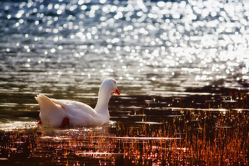 theanimalblog:  Lake swimmer (by Theophilos)