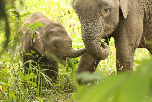 island-life:  Elephants in Borneo