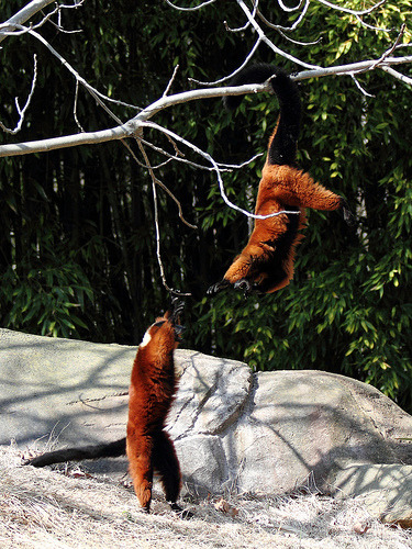 Red Ruffed Lemurs (by The Zoo Dude)