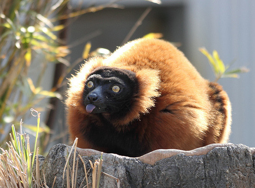 Red Ruffed Lemur (by The Zoo Dude)