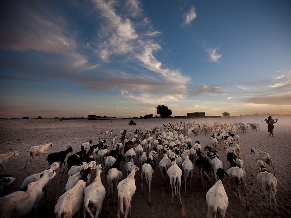 After a day of grazing in the surrounding desert, a herd of sheep and goats follow their owner to his home on the edge of Timbuktu. Founded by Tuareg herders, Timbuktu still counts the livestock trade among its primary sources of income. Photograph by Brent Stirton