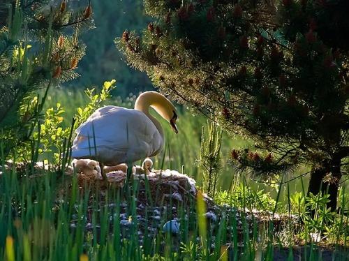 tindink:  Swan's nest