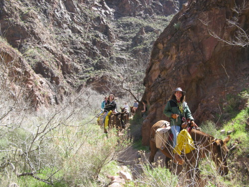 Mule train!  Really, the only downside of hiking the Grand Canyon is stepping around all the mule crud