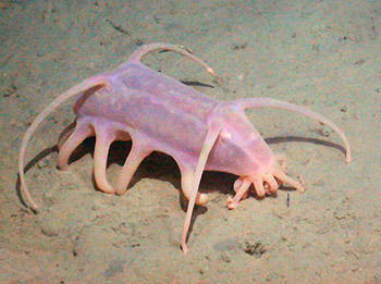 Sea pigs (Scotoplanes globosa) are a deep sea-dwelling species of sea cucumber. They have several squatty little legs and a giant mouth with which they eat detritus that drops down from the ocean surface. Scotoplanes sea pigs (sometimes other species that look similar are called sea pig) live in the deepest abyss, up to 3.7 miles under the ocean surface. In contrast, the deepest part of the Grand Canyon is only 1.1 miles down! And though scientists know very little about their ecology and behavior, since it's a bit difficult to study creatures living that far down, they often find them hanging about in great numbers… (read more: Animal Planet)
