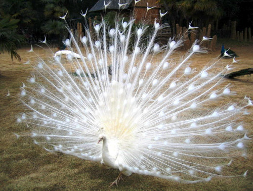 designed-to-die:  an albino peacock. it's just as pretty as the normal kinds, if not prettier. <3