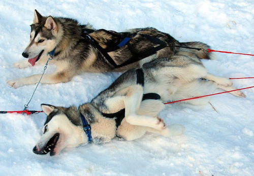 One day my dog will be part of a sled team.