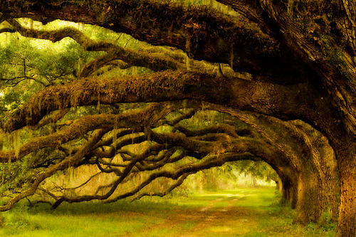 sunsurfer:  Coastal Live Oak Trees, South Carolina  photo by richard bernabe via holycrustasean