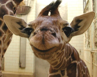 Baby Giraffe closeup! I'm going to die.