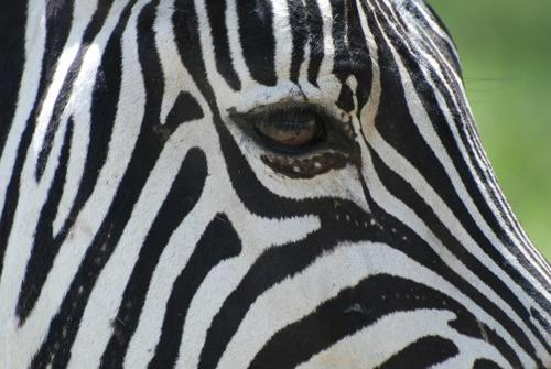 eye of a zebra