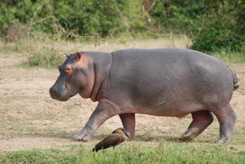 walking hippo