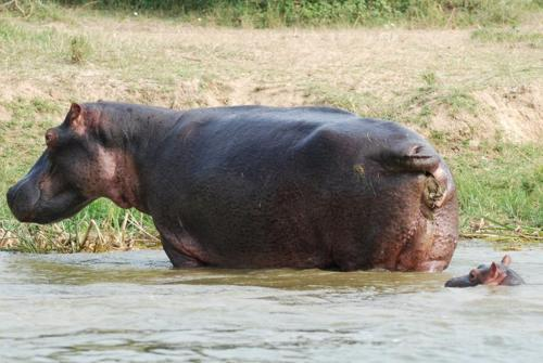mom hippo pooping on baby's head