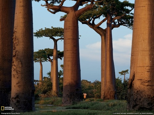 tobedoit:  Avenue of the Baobabs an area near Morondava protected since 2007, is all that remains of a  once thick forest cleared for farmland. Growing 80 feet (24 meters) or  more, baobabs are valued for their fruit and bark. Photograph by Pascal Maitre, National Geographic