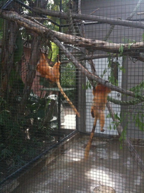 3.26.11 Santa Ana Zoo.  Little cute jumping golden monkeys.  Can't remember what they are.  Golden something I'm pretty sure.  They were my fav.  So spunky!