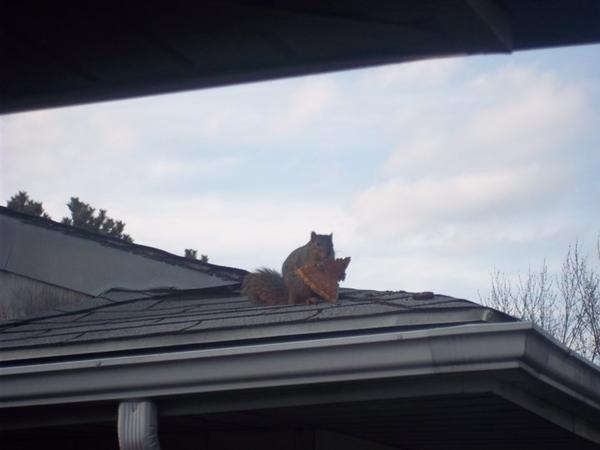 via thedame  This is a real picture a friend of a friend took of a squirrel eating a piece of pizza on her roof!