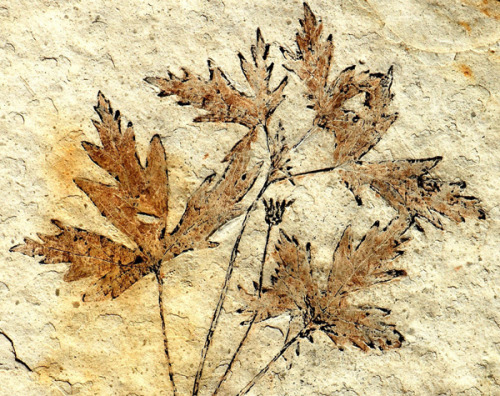 120 million year old pressed flowers.