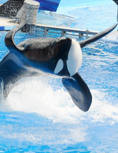 fuckyeahkillerwhales:  Within the past week, Tillikum has been reintroduced into the killer whale show, Believe, since the death of Dawn Brancheau last February. At SeaWorld Orlando, Tillikum receives daily enrichment and trainer interactions, but his performance has been greatly missed by many, especially those waiting to be soaked in the first 15 rows. Welcome back, Tillikum.