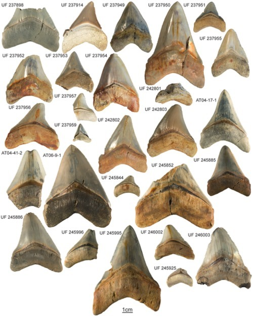 Ancient Nursery Area for the Extinct Giant Shark Megalodon from the Miocene of Panama