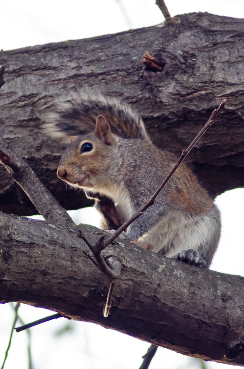 Here's another one of that same squirrel, grinning at me from the tree. He was cussing at me at the time, so I'm not sure why he's smiling. This was taken with my ancient Tamron 180mm f2.5 + 1.4x TC. I love that lens. It's still incredibly sharp, even today, although it's got a little more flare than I remember (wide open). Stop down one stop and it's contrasty and sharp, though.