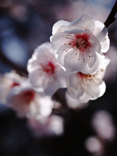 Plum blossoms by yubomojao on Flickr.