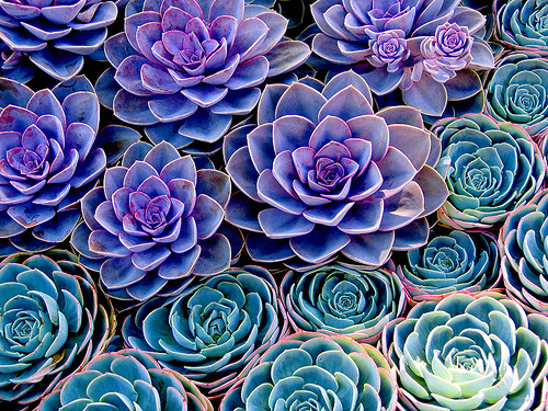 thedaintysquid:  (by Blackbird Experience)  I used to have these succulents as my desk plants. Then they died.