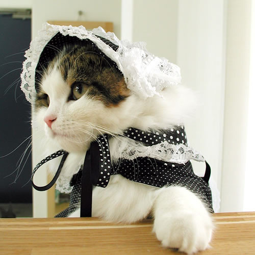 lunevanilla:  A Lolita cat. Cute~