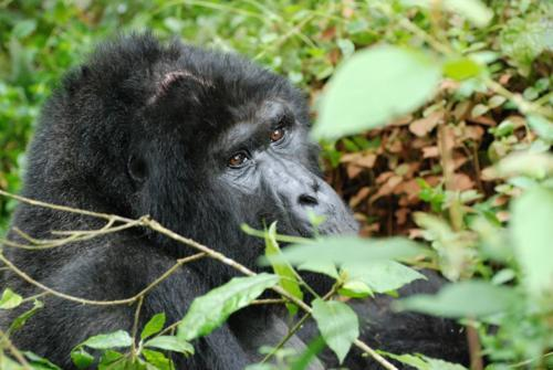 gorilla with head scar, Uganda
