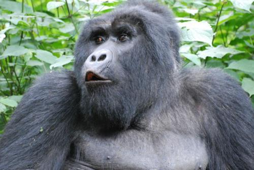 oh no you didn't!!!  what this gorilla's expression is saying to me