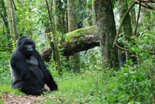 sitting gorilla, Bwindi Impenetrable Forest