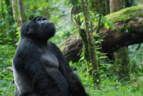 star gazing gorilla, Bwindi Impenetrable Forest