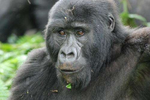 up close face shot of gorilla
